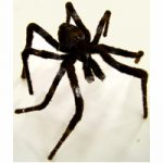 Wired Furry Wolf Spider, Available in 2 large sizes