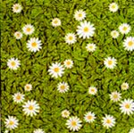 Corobuff - Daisies in Bloom spring bulletin board