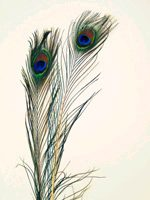 Natural Peacock Feathers - Crafts, Sports, Costumes